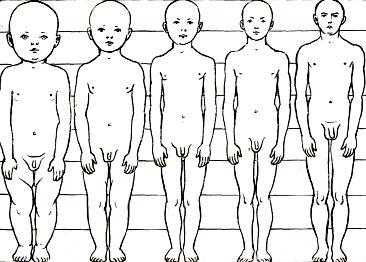 Пропорции тела и член