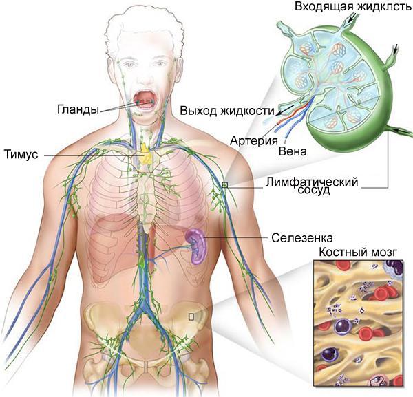 Как связаны лимфатическая система и иммунитет