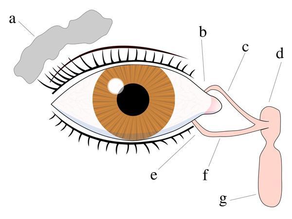 Схема расположения слезных протоков