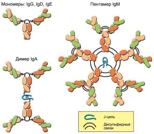 Что такое иммуноглобулин А?