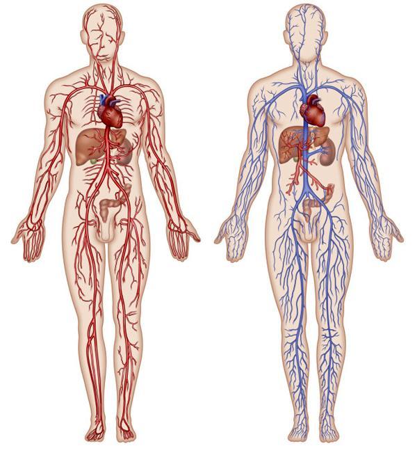 Артериальная и венозная кровь