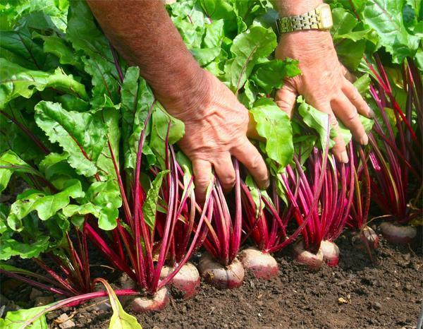 Углеводы в овощах