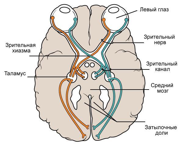 Функции затылочной доли головного мозга