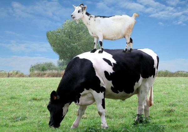 Козье молоко для кормления младенцев