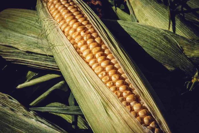 Что нужно знать о кукурузе?